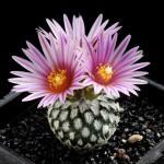 Как заставить цвести кактус