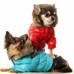 Мода для собак: одежда и обувь